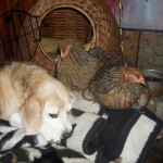 Kippen met Loki (2)