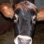 Koe - Zjene 15