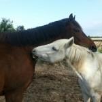 Paard - Claudi (rechts)