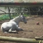 Paard - Fjoeps