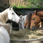 Paarden - Puck, Selsa, Lars, Nourir, Skealt, Claudi, Fewbe