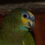 Vogel - papagaai