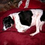 Hond - Dee Deezou (2)