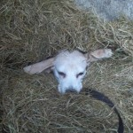 Hond - Loki under cover
