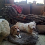 Honden - Loki en Bobby