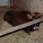 Koe - Zjene 24 (in de gang)