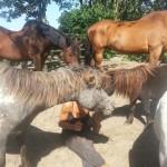 Norma - paarden (3)