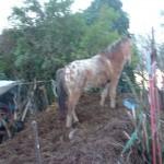 Paard Skeald (8)