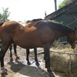 Paard - Norir
