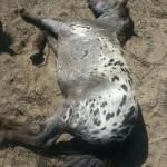 Paard - Puck, uitgeteld