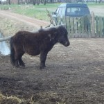 Paard - pony