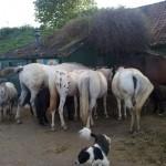 Paarden - kleine Frig eerste van links