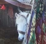 Paard - Claudi 02