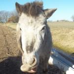 Paard - Frig (hersenbloeding)