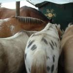 Paard - Lars 04 (achteraan)