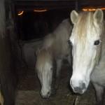 Paarden - Selsa en Puck