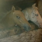 Paarden - Skeald en Puck