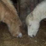 Paarden - Tank en Claudi