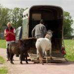 Paarden - trailer