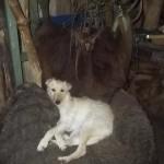 Hond - Sara 11