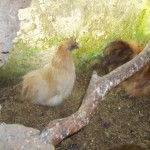 Kip - zijdehoen