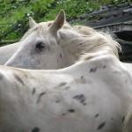 Paard - Puck (1)